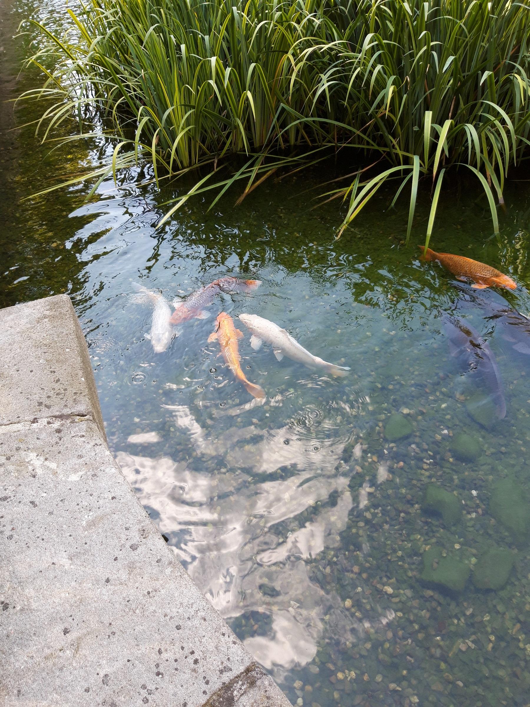 Kois im Garten des Palais Wallenstein